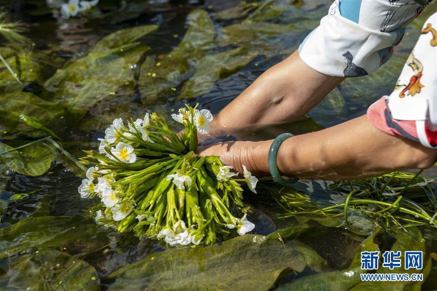 生态海菜助民增收